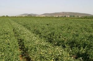 tomate industria riego eficiente